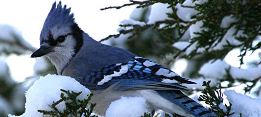 Birds in Winter  The BackYard Naturalist  The BackYard Naturalist