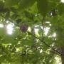 Buntings in the bush