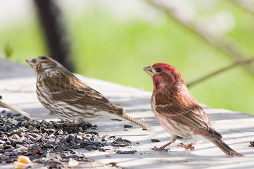 A Great Addition To Any Backyard is a Finch Feeder - Finch Feeding - The BackYard Naturalist The BackYard Naturalist